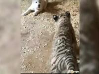 Prietenie neobișnuită între două animale, un tigru cu un câine