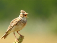 Apel pentru a ne salva simbolul național. Un vânător are voie să ucidă zilnic 50 de păsări
