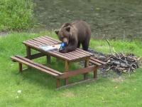 Ministerul Mediului vrea ordin pentru împușcarea a 140 de urși. Care ar fi condițiile