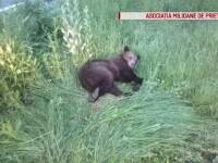 Ursul lovit de o mașină în Brașov, salvat de voluntari după 4 ore de agonie