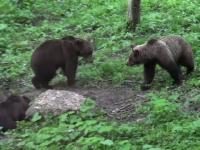 Tot mai mulți urși își fac apariția pe traseele montane. Avertisment important pentru turiști