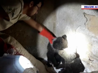 Doi pui de urs orfani au fost salvați de vânători în Vrancea