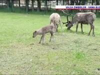 Un pui de ren s-a născut la Rezervaţia de Zimbri din Vama Buzăului