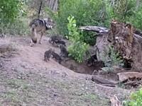 Momentul în care 17 pui de lup dintr-o specie foarte rară ies pentru prima dată din bârlog