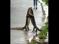VIDEO. Două șopârle uriașe, vedete pe rețelele sociale. S-au ținut în brațe