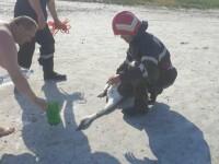 Pompierii din Brăila au intervenit pentru a salva o lebădă rămasă captivă în nămol