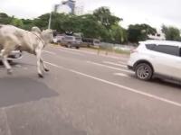 Vaci și tauri au luat-o la goană printr-un oraș din Bolivia, după ce au scăpat din camionul care le transporta