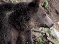 Panică în parcul central din Sinaia. O turistă a dat nas în nas cu un urs