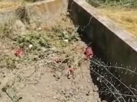 Un urs care mergea des în cimitir și mânca flori și lumânări și-a schimbat comportamentul: Așa nu se mai poate