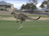 O familie din Australia, terorizata de un cangur!
