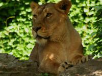 Salvati de la o viata chinuita, trei lei vor ajunge din Tecuci in Africa!