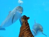 Un tigru si un delfin, cei mai buni prieteni!