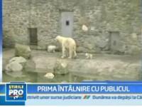 Libertate si Inotatorul, doi ursi polari, au iesit in lume