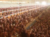 Pana in 2012 fermele romanesti avicole trebuie modernizate! Afla cum!
