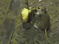 Ratatouille de Romania! Vezi cum dresezi un sobolan!