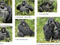 Si gorilele se imbata!