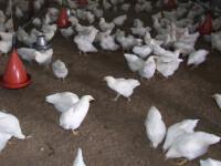 Doua treimi din puii sacrificati in Romania, contaminati cu salmonela