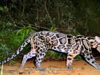 Leopardul patat Sunda, descoperit in 2006, a fost filmat pentru prima data