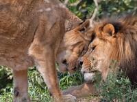 Pana cand moartea i-a despartit. Iubirea impresionanta dintre doi lei