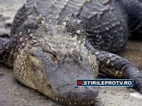 La noi ies sobolani din canale, in Australia, crocodili. VIDEO