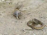 Sarpele muscat de veverita. Video cu tactica victoriei