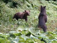 Ursul pacalit de oameni- 2.Cum a dus lipsa unei legi la exterminarea ursilor in unele tari europene