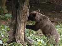 Ursul pacalit de oameni- 3.Erorile din sistem care au facut ca orasele sa invadeze habitatul ursilor