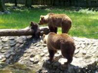 Dragoste cu… nabadai. Ursuletii de la ZOO trebuie mutati, pentru ca parintii lor sa se imperecheze