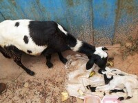 Un ied cu doua capete s-a nascut in Ghana. GALERIE FOTO
