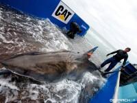 Unul dintre cei mai periculosi rechini din lume se indreapta spre Marea Britanie. Marele Alb e monitorizat prin satelit