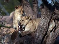 Gradina zoologica, criticata pentru uciderea unei girafe sanatoase, a eutanasiat patru lei. Explicatia administratorilor
