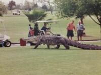Moment incredibil pe un teren de golf din SUA. Jucatorii s-au trezit cu un crocodil imens in fata ochilor