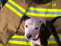 Povestea de film a cainelui care a fost salvat dintr-un incendiu si a ajuns sa fie pompier cu acte
