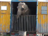 Elefant inchis in tarc de 10m patrati si hipopotam fara bazin. Chinurile la care ar fi supuse animalele unui circ ambulant