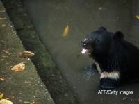 Un urs a murit in timp ce era transportat cu un elicopter. Ce s-a intamplat cand animalul s-a trezit in aer. FOTO