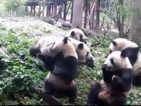 Un pui panda a fost filmat cand ceilalti ursi i-au furat mancarea. Ce a incercat ingrijitorul sa faca