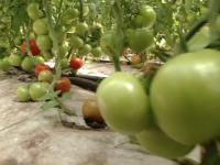 90% din rosiile romanesti sunt, de fapt, crescute din seminte de import. De ce renunta fermierii la soiurile autohtone