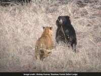 VIDEO viral. Un tigru se luptă cu un urs, într-un parc natural din India