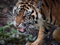 Alertă în Germania, după ce cinci animale periculoase au scăpat de la zoo
