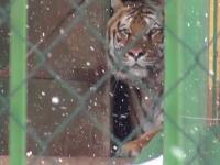 Animalele sălbatice de la grădina zoologică din Galați, tulburate de ninsoare
