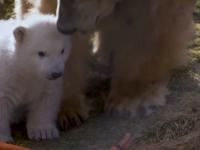 Prima apariție publică a unui pui de urs polar născut în Marea Britanie în ultimul sfert de secol