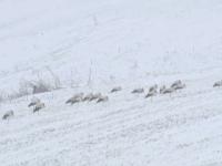 Berzele întoarse prea devreme, în pericol din cauza zăpezii. Operațiunea de salvare declanșată