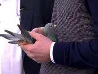Porumbel vândut pentru 1,25 milioane de euro. Cum s-a ajuns la fabuloasa sumă