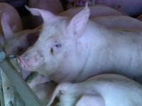 Zeci de porci Mangalița, sacrificați din cauza unui focar de pestă porcină