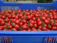 Iarna blândă a grăbit prima recoltă de roșii. Frații care ies primii de piață cu cele autohtone