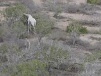 Două girafe albe, foarte rare, împușcate de braconieri, în Kenya