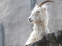 """Imagini inedite. Străzi """"invadate"""" de capre sălbatice, după izolarea oamenilor VIDEO"""