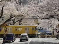 Cireși înfloriți în Tokyo, Japonia. Temperatura a ajuns la 23 de grade Celsius
