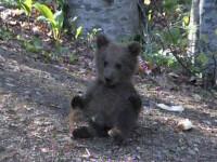 Ursoaica si puiul ei, la plimbare pe potecile turistice din Bucegi!