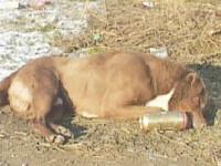 30 de caini comunitari au fost gasiti otraviti pe strazile din Suceava